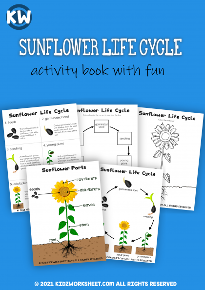 Sunflower Life Cycle | Online study material